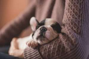 Adopt a Dog in Edmonton - French Bulldog