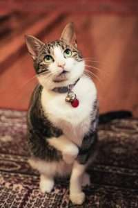 Calico cat with big eyes on hind legs wearing bell collar
