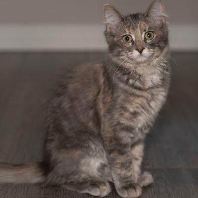Adopt a cat in Edmonton - Spice