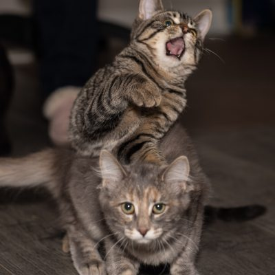 Adopt kittens Sugar and Spice in Edmonton