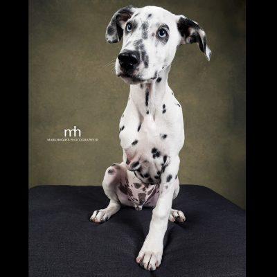 Adopt a Dalmatian in Edmonton
